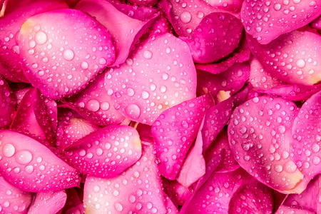 the fresh pink rose petal background with water rain drop Imagens