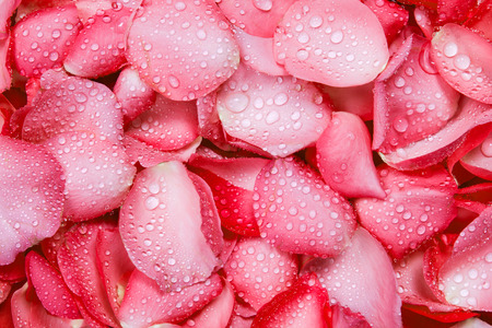 the fresh red rose petal background with water rain drop