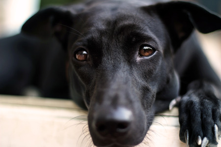 Close up lonely face of black dog Stock Photo