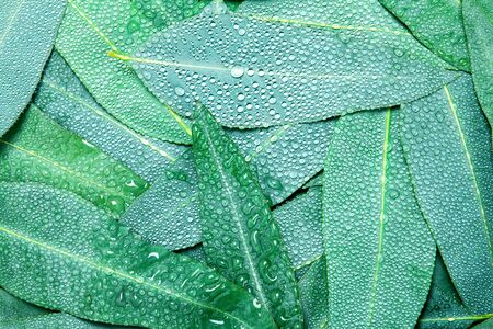 Nature Eucalyptus leaves with water rain drop background