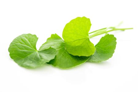 Fresh green Gotu kola, Centella asiatica leaf on white  background, Asiatic pennywort, Indian pennywort, ayurvedic medical herb concept