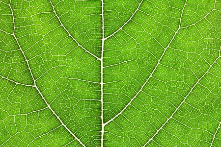 Chiuda su struttura verde della foglia come fondo verde dell'estratto della natura