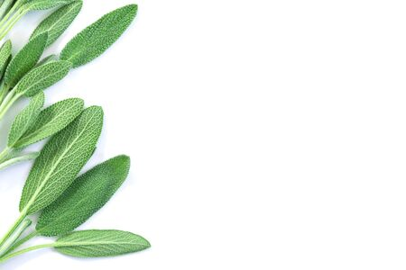 Close up fresh green sage herb leaf on white background 写真素材