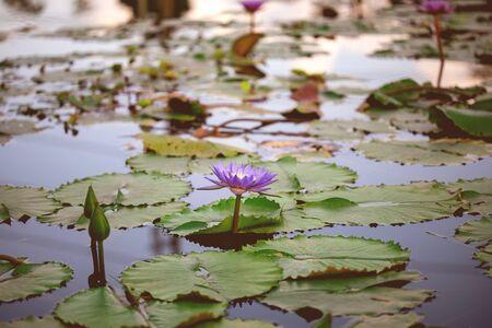 beautiful purple lotus , water lily flower in pond  Zdjęcie Seryjne