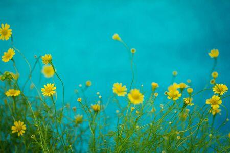 the small pretty yellow daisy on blue background Zdjęcie Seryjne