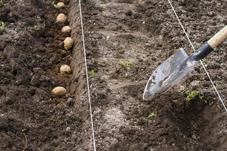 sand mold: Planting potatoes Stock Photo