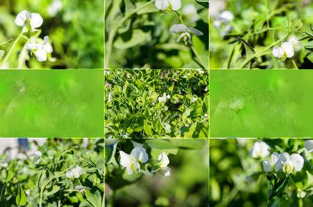 エンドウ豆 写真素材
