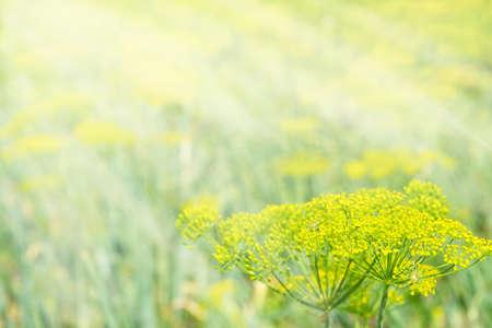 太陽の光は、ディルの花序に落ちる。