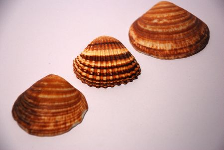 three shells on white background