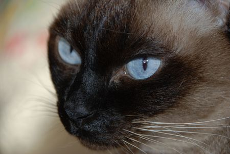 siamese cats blue eyes
