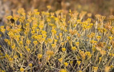 The little golden Flowers of the Helichrysum photo