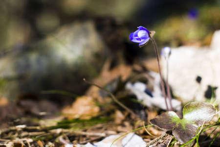 liverwort: Anemone hepatica (Common Hepatica, liverwort, kidneywort, pennywort) - springtime in alps Stock Photo