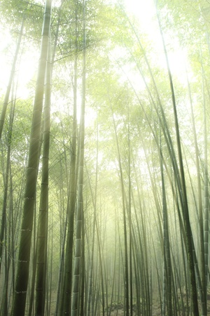 bamboo forest silhouette with morning sunlight  photo