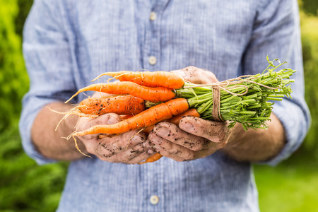 homestead: Bunch of young carrots in gardeners hands close up. Spring - fresh harvest from the garden. Stock Photo