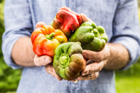 Wet mixed colours bell pepper in gardeners hands close up. Spring - fresh harvest from the garden.