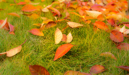 Colorful autumn leaves on green grass (lawn) background. Fall in the garden or park.