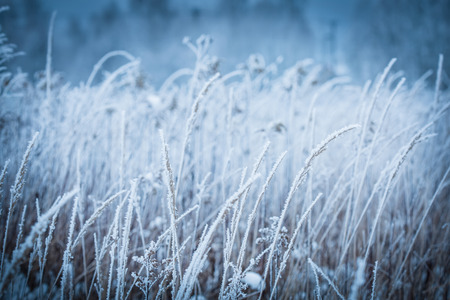 Frozen winter meadow close up. Cold weather, nature details covered with frost.