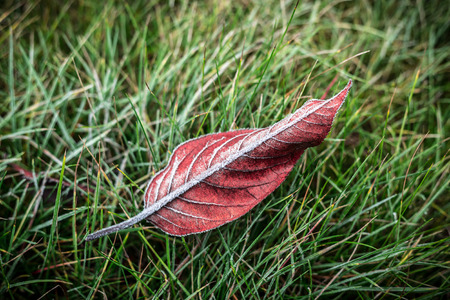 Red autumn leaf covered with natural frost on green grass (lawn). Background layout captured from above (top view). Winter or fall in the garden - flat lay composition.