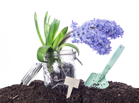 Hyacinth flower growing in a jar, shovel (spade), tag and soil. Spring garden works concept - isolated on white background.