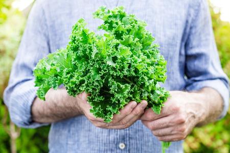 Bunch von frischen Kohl Kohl Blätter in Gärtner die Hände close up. Frühling - frische Ernte aus dem Garten. Superfood und gesunde Ernährung.