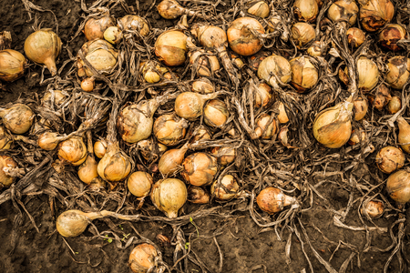 Onion on field captured from above (top view). Agriculture - autumn harvest. Stock Photo
