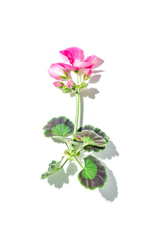 Botany - geranium (pelargonium) plant with pink flower and natural shadow on white background (flat lay). Free text (copy) space. Stock Photo