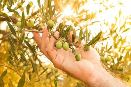 Olijftak in de hand van de boer - close-up. Landbouw of tuinieren - land buitenlandschap, gouden zonsonderganglicht.