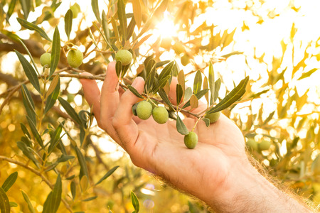 Olive branch in farmers hand - close up. Agriculture or gardening - country outdoor scenery, gold sunset light.
