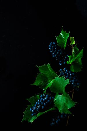 Grapevine plant on black background. Grapes branch with leaves. Captured from above (top view, flat lay). Free copy (text) space. Dark moody composition.