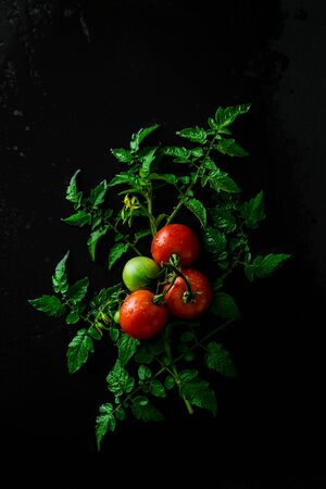 Fresh raw wet tomatoes on a twig (branch). Vegetable plant with leaves on black background. Captured from above (top view, flat lay). Free copy (text) space. Dark moody composition. 版權商用圖片
