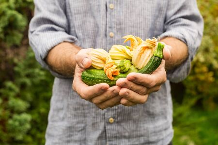 Baby zucchini with flowers in gardener's hands close up - outdoor. Spring - fresh harvest from the garden.