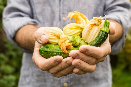 Baby zucchini with flowers in gardeners hands close up - outdoor. Spring - fresh harvest from the garden.