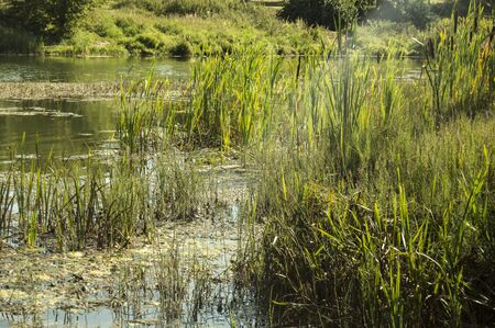 Photo of a grassy pond, pond, river. Sunny summer nature