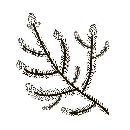 Illustration of a fir branch with cones. Vector linear drawing by hand  イラスト・ベクター素材