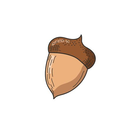 Acorn. Vector color illustration by hand. Flat design