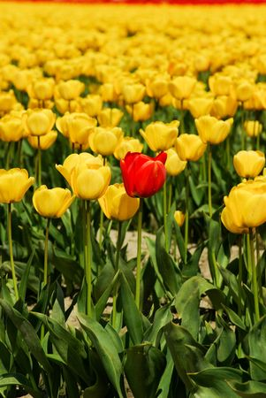 Red Tulip Stock Photo - 4735252
