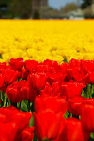 Tulips Stock Photo - 4740114