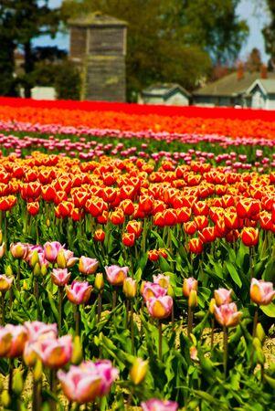 Tulips Galore Stok Fotoğraf