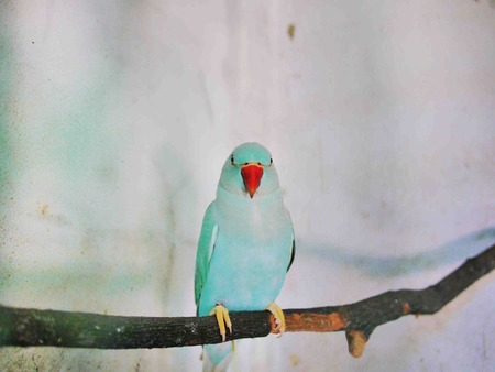 red beak: The Indian Ringneck Parrot  Parakeet  with an red beak on a branch, Thailand