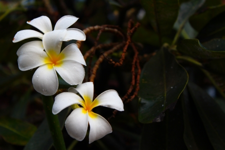 Frangipani Stock Photo - 16730534