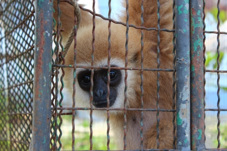 Gibbon in a cage