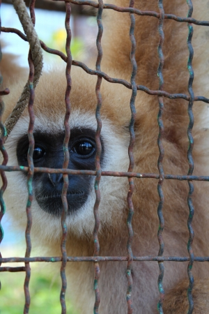 Gibbon in a cage Stock Photo