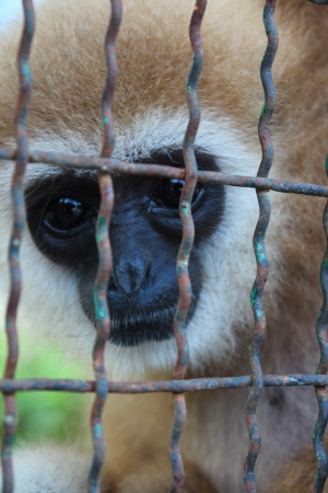 Gibbon in a cage Stock Photo - 16730531