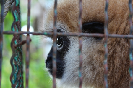 Gibbon in a cage Stock Photo - 16730567