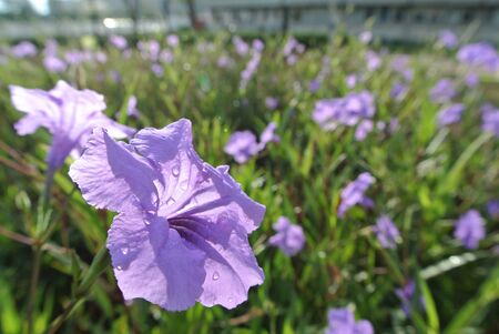 Lively purple flower,Ruellia or Mexican petunia or Ruellia brittoniana or Purple Showers. Native to Mexico and the southwestern U.S. and also widely grown in Thailand.