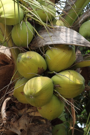 Clusters of freen coconuts  photo