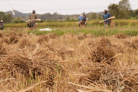 Harvesting rice in rural area of Thailand  photo