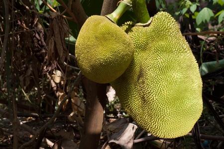 jackfruits on a tree photo