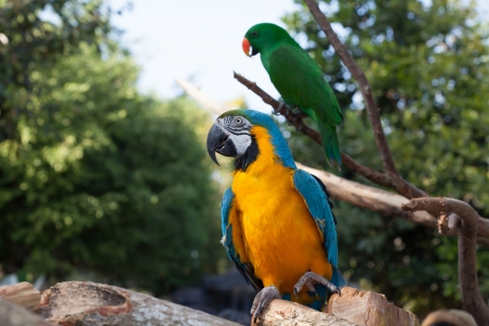 maccaw: Colorful couple macaws sitting on tree