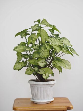 Syngonium liana with a light top of leaves at home. Home plants in the winter garden. Evergreens.